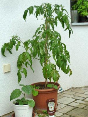 So können Tomatenpflanzen auch aussehen!