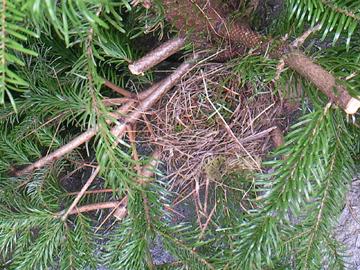 Vogelnest im Weihnachtsbaum