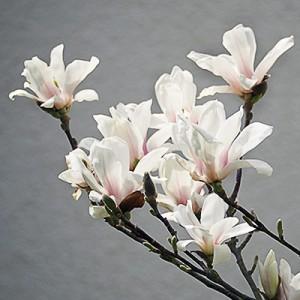 magnolie_2015