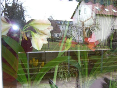 2016.03.25 010 Amaryllis, mit Spiegelungen im Fenster