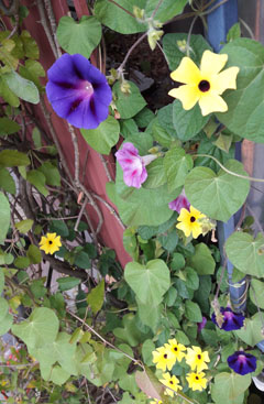 MorningGlory_2016_1